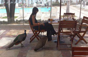 Peacocks beg at the lunch tables!