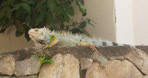 Petrushka loving iguana!
